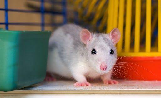 Klatki dla szczurów