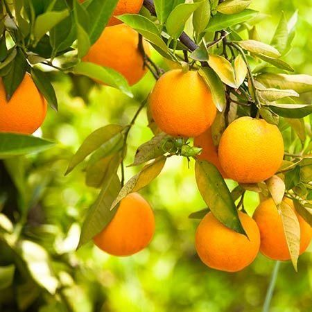 Cara Cara Orange Tree for Sale