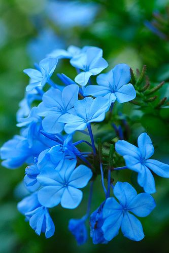 "plumbago (aka leadwort), beautiful blue! // The generic name, derived from the Latin words plumbum (""lead"") and agere (""to resemble""), was first used by Pliny the Elder (23-79) for a plant known as μολυβδαινα (molybdaina) to Pedanius Dioscorides (ca. 40-90). This may have referred to its lead-blue flower colour (OED), the ability of the sap to create lead-colored stains on skin, or Pliny's belief that the plant was a cure for lead poisoning."