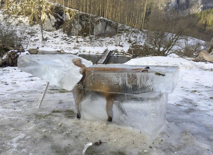 An extraordinary image has been capturedshowinga drowned fox encased in a block of ice after it fell into a frozen river, as bitterly cold temperatures sweep across Europe. Thenimalbroke through thin ice on the River Danube near Fridingen on 9 January and was discovered four days later. A member of the public used a saw to cut a cube around the wild animal.
