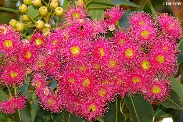Corymbia 39 summer red 39 frontyard plants pinterest for Kommode 60 x 80