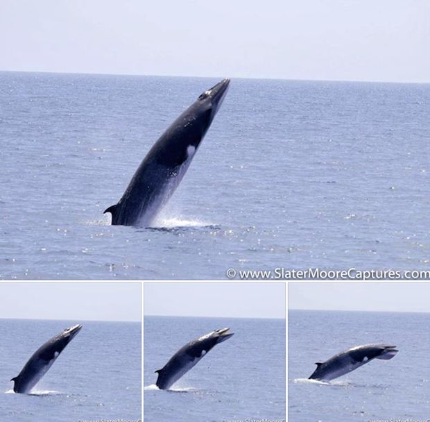 Breaching minke whale a real jaw-dropper Mammal launches out of water 10 times off Newport Beach, each time opening its mouth in rare, inexplicable behavior; it could be purely for fun