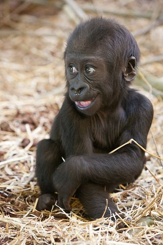 Baby gorilla 'Shambe' smiles at Artis Zoo, Amsterdam, The Netherlands - photo by A. J. Haverkamp, via Flickr