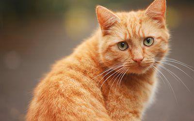 Scarica sfondi gatto, gatto rosso, zenzero, gatti