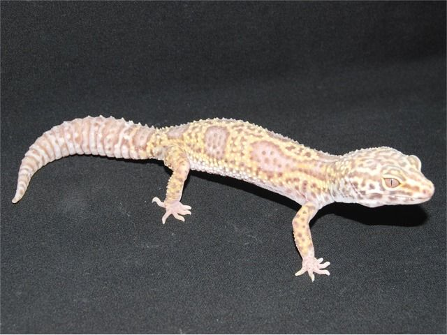 Bell Albino Mack Snow Leopard Gecko