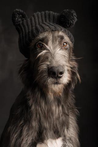 Kruimel Irish Wolfhound in knit cap   by Paul Croes...