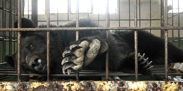 SUPPORT ACTIVISTS ASKING CHINA TO BAN BEAR BILE FARMS NOW! More than 10,000 bears in China are kept in cages so cramped that the animals can't turn around or stand & have their bile extracted through excrutiatingly painful methods. HELP END THEIR SUFFERING! Plz Sign & Share! http://www.thepetitionsite.com/takeaction/374/432/912/?z00m=20805573#sign