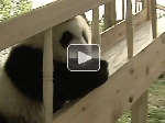 Cute pandas playing on a slide(video) --- the cutest thing EVER! <3