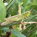 Grasshoppers - Organic Pest Control