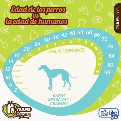Edad perros - Razas Medianas/Grandes / #Dogs #Pets #Age  #Infographic