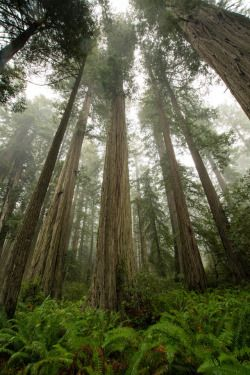 "staudnhuckn:  "" Towering coast redwoods (Sequoia sempervirens)  Lady Bird Johnson Grove, Redwood National Park, California, USA  """