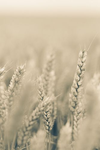 """""""Soft Golden Wheat..."""" Soft golden colours of wheat, with a strong hint of bokeh. I used """"freelensing"""" to achieve the narrow field of focus..."""