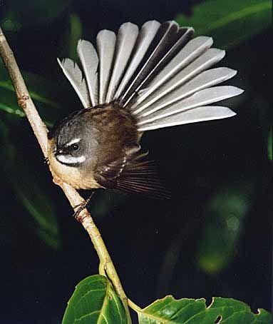 Fantail (Piwakawaka) -  Native NZ Bird