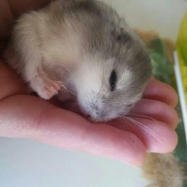 Cucciolo di criceto