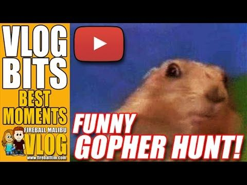 "FUNNY #GOPHER ESCAPE! - VLOG BITS SUBSCRIBE to the Vlog-Blog @ http://ift.tt/12aPqeo FUNNY #GOPHER ESCAPE! - VLOG BITS A backyard Gopher makes a run for it. From WIKI... Pocket gophers commonly referred to as gophers are burrowing rodents of the family Geomyidae.[1] About 35 species of gophers live in Central and North America.[2] They are commonly known for their extensive tunneling activities. Gophers are endemic to North and Central America. The name ""pocket gopher"" on its own may be used…"