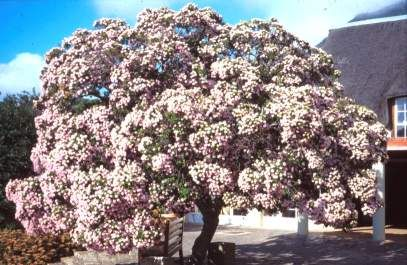The trees flower in early summer, any time from November to December. The new flower buds look like lollypops, with big round heads on long thin stems at the end of the branches.