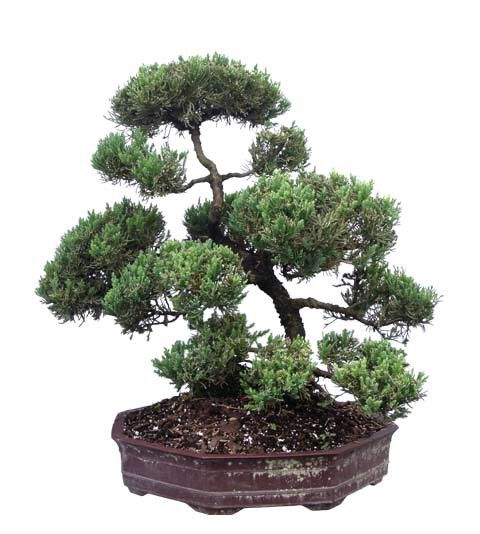 1000 images about buy bonsai trees buy unique old bonsai for Cool bonsai tree