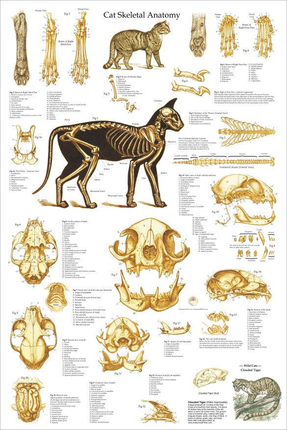 Cat Skeletal Anatomy Poster 24 X 36 Cats Pinterest Anatomy