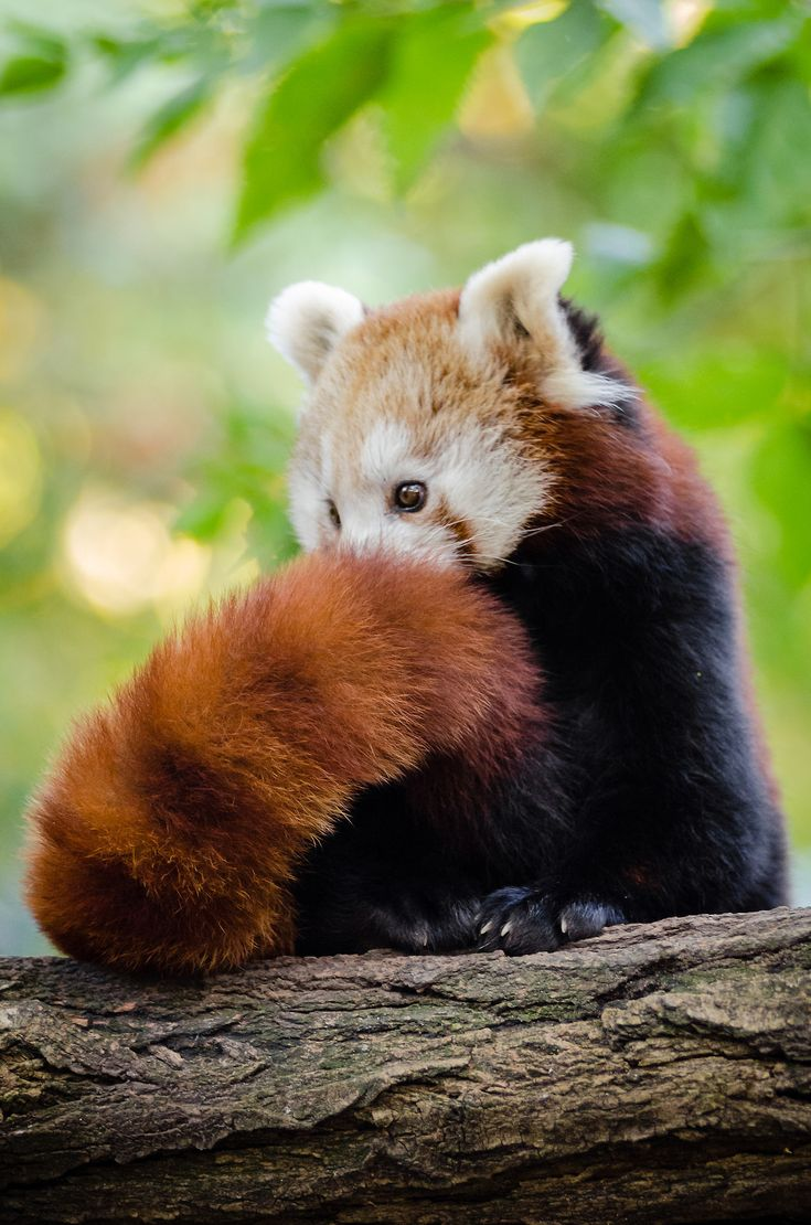 Red Panda | Mathias Appel