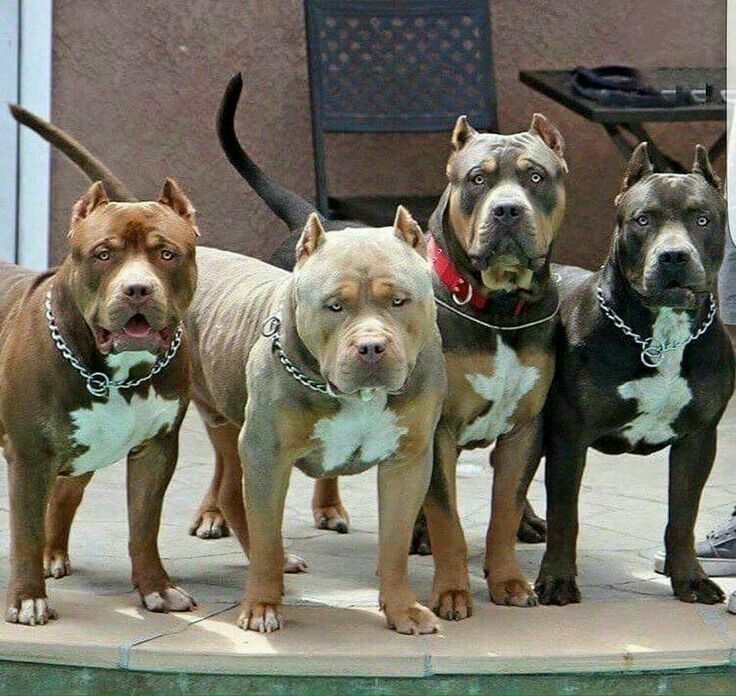 Pin By Ammi Tyler On Pitbull Terrier Lover Don T Judge My Breed And I Won T Judge Your Kids Pitbull Terrier Beautiful Dogs Dogs