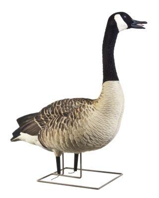 canada goose pictures