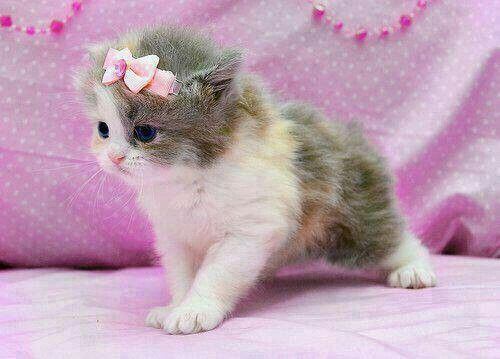 13 best teacup kittens images on Pinterest   Kitty cats, Adorable ...
