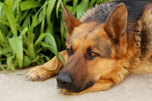 You may not be in the habit of looking underneath your dog's tail. If you own a German Shepherd, you probably should. Purebred German Shepherd dogs are the most likely breed of dog to develop perian