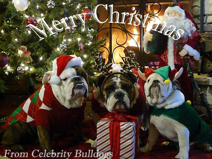 ❤ Likely the cookies will be gone when Santa arrives --- but he'll certainly get's lots of licks and loving from this group! ❤ Posted by Celebrity Bulldogs