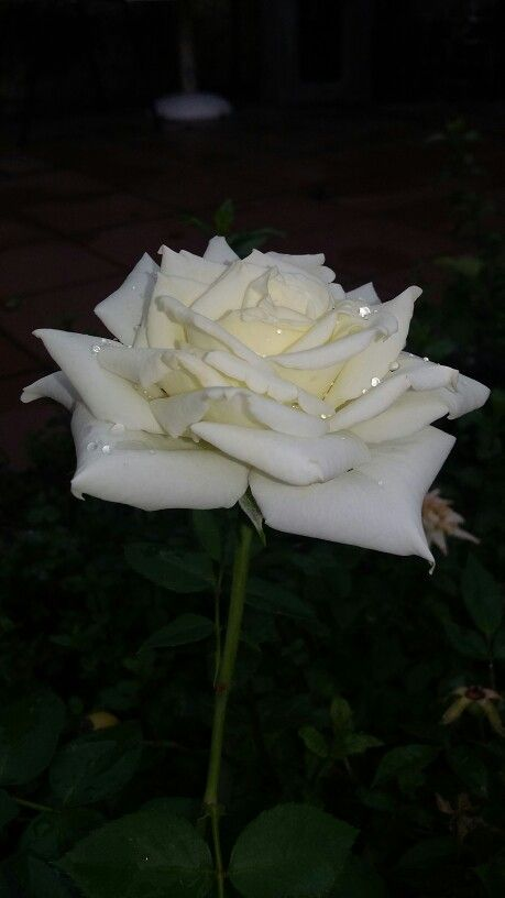 Rosa Blanca. Hermosa. Encantadora en mi jardín