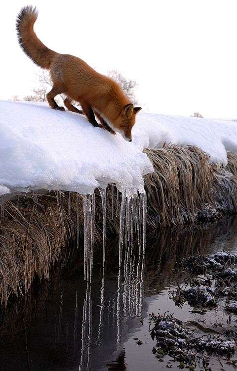 Poor #fox that don´t know how to get that water / Eva Maritha