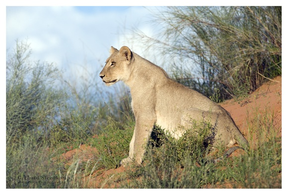 Lioness, Rooiputs, Kgalagadi Transfrontier Park, South Africa