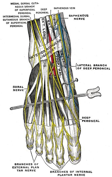 superior lateral branch of the medial forebrain bundle | In the leg the saphenous nerve follows great saphenous vein.