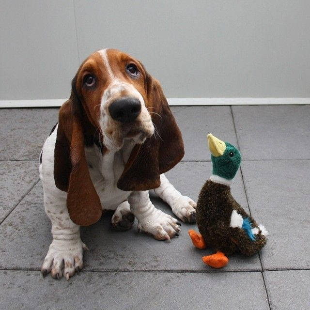 Dean the Basset is only the coolest dude around, so you can trust what he has to…