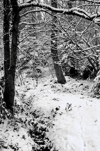 Black and white trees in the snow