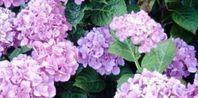 How to Grow Hydrangeas