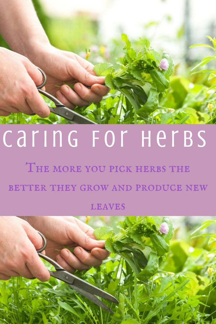 The more you pick herbs the better they grow and produce new leaves.