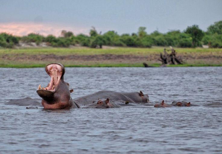 Hippos galore!
