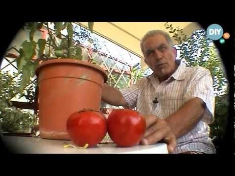 Καλλιέργεια ντομάτας στο σπίτι kalliergeia ntomatas spiti @ www.diytv.gr
