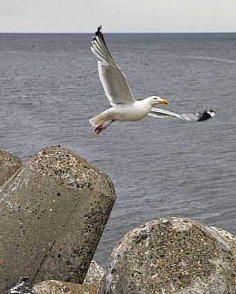 Un goéland volant au-dessus des tétrapodes du port de mer de Matane