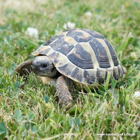 Hermann Tortoise                                                                                                                                                                                 More