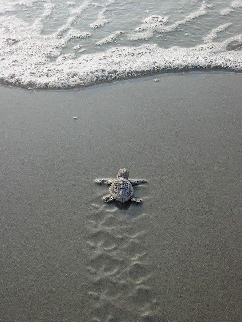 Io vorrei essere come questa tartaruga: all' inizio provo a nuotare a riva, man mano che vado avanti l'acqua è sempre più profonda, ma quando divento più grande mi allontano leggermente dall'acqua più profonda fino ad arrivare nell'Oceano, è stato faticoso arrivarci, ma la cosa ancora più difficile è tornare indietro...