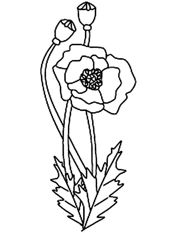 17 Best Ideas About Poppy Drawing On Pinterest Flower