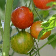 """Tomate """"Neusiedler See"""": Die Tomaten der Sorte Neusiedler See sind klein und rund. In der Vollreife bestechen sie durch ihre gelb-orange-roten Streifen. Wohlschmeckend Kleine Früchte"""