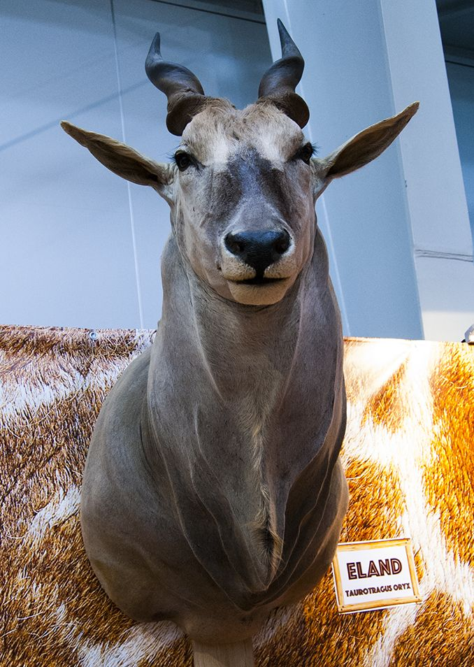 Impressive Eland antelope trophy seen during Polish Hunting Fairs - Hubertus EXPO 2015. Hunt beautiful beasts of the wild with us!