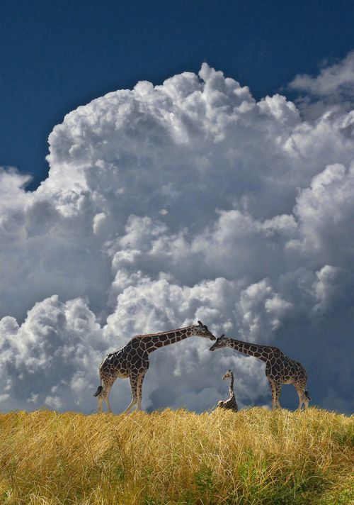 giraffes in the foreground of an immense and stunning cumulonimbus cloud
