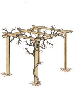 Wisteria after winter pruning: The long shoots have been pruned back so that they contain three to five buds each.