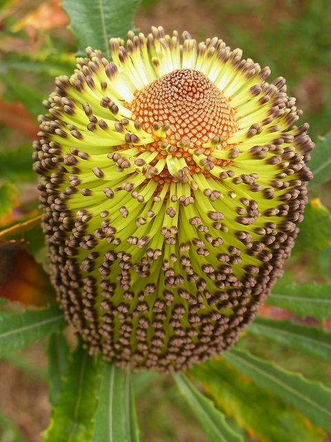 "Banksia media, Australian native plant. Found this pin on the impressive board ""Australian Flora"" maintained by pinner ""Mike's Place."" I recommend that you look there for Australian plants. And do please look; those plants are stunners!"