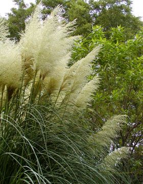 Erianthus ravennae northern hardy pampas grass flowers for Hardy grasses for the garden