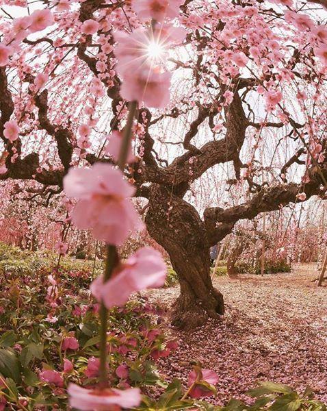 Flores de cerejeira em Shizuoka, Japão