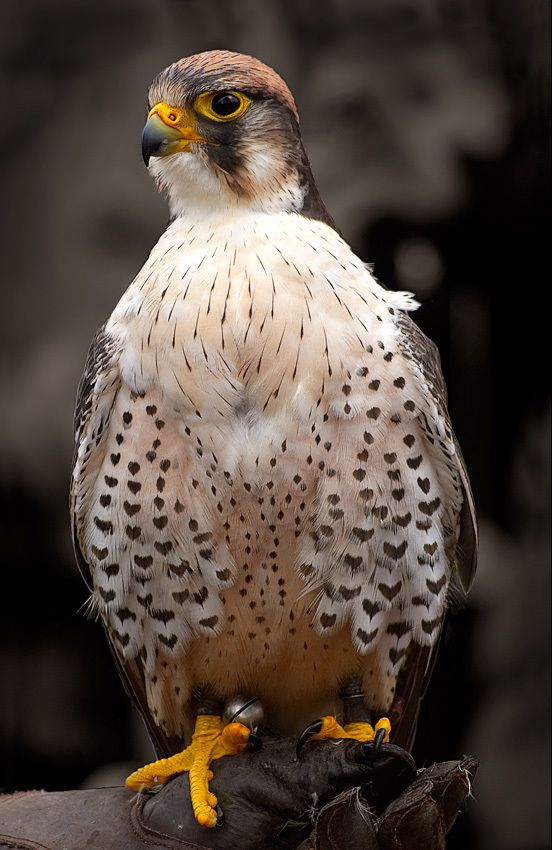 Lady Hawk by Jesper Kristensen, via 500px. Lovely that she has hearts all over her breast.